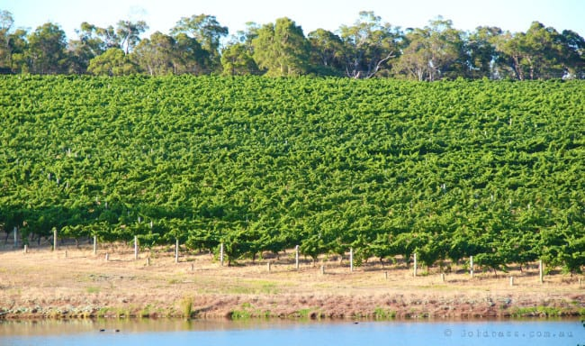 Lush green grape vines in Yallingup Western Australia