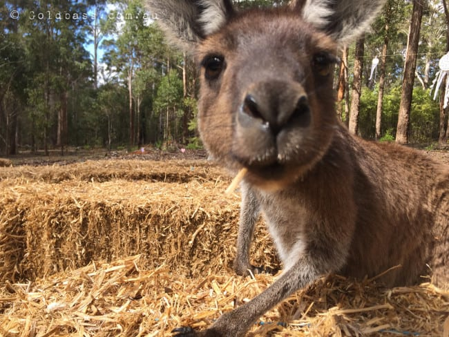 Up close Kangaroo at Donnelly River in WAs South West